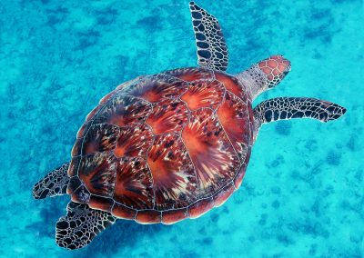 Green Turtle by Christian Botella